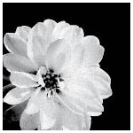 3270 - black and white flower